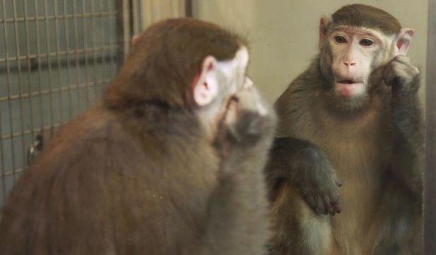 Maimuţă rhesus privindu-se în oglindă