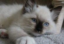 pisica alba-640x384